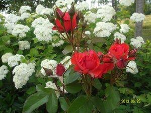 Роза и гортензия