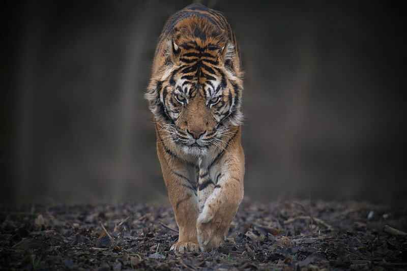 тигры