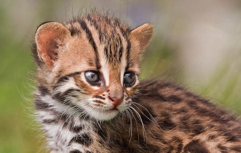 Детеныши львов и леопардов 0 14231a 9b943946 orig