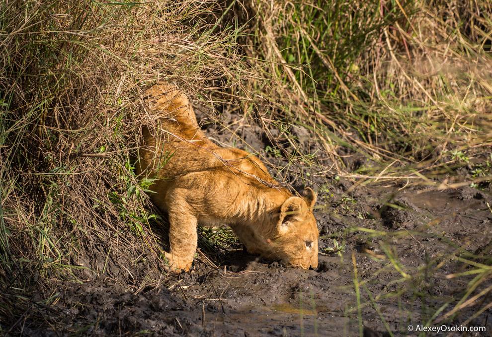 5. В первом случае львицы, как я уже сказал, защищают своих детей от отцов, просто не допуская их ко