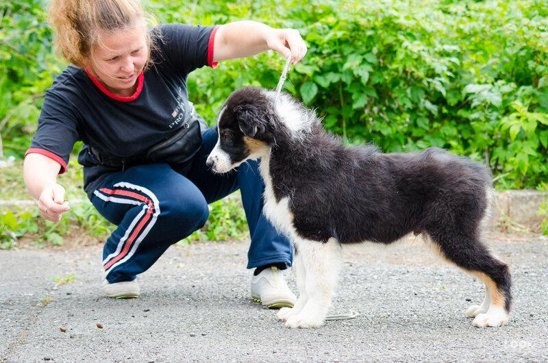 Первые щенки аусси в Пермском крае - Страница 3 0_a0388_65786905_XL