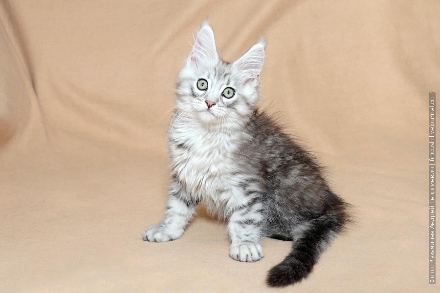 питомник Москва котенок Мейн-кун