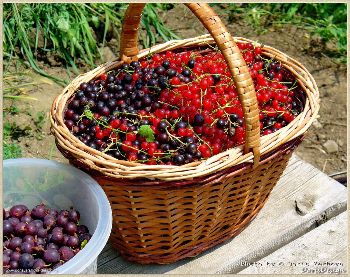 травы, цветы, июль, смородина в корзинке, смородина красная и черная, крыжовник в ведре,  Фото  Дорис Ершовой
