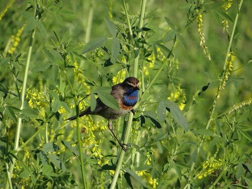 Варакушка (Luscinia svecica) Автор фото: Привалова Марина