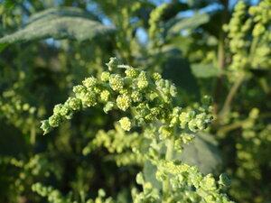 s:травянистые,i:однолетние,b:прямостоячий,l:очередные,l:супротивные,l:простые,l:яйцевидные,соцветия - корзинки,соцветия - метелки,c:желтые,c:зеленые,c:до 1 см,околоцветник актиноморфный,лепестков 5,околоцветник сростнолепестный