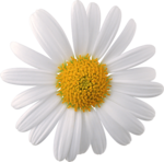 camomile (1).png