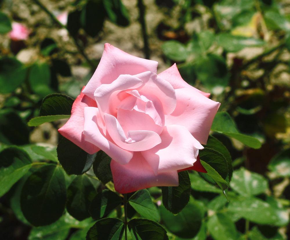 Роза утро москвы фото и описание отзывы