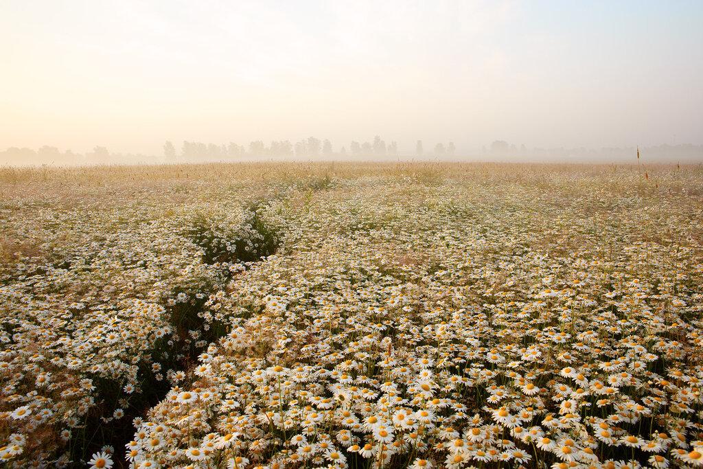Рассвет  в ромашковом поле