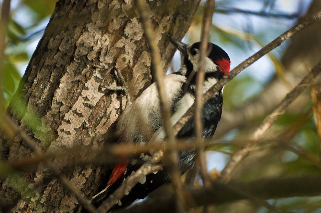 Дятел постоянно перемещается по стволу дерева. Поэтому не так-то легко снять хорошую фотографию во время фотоохоты на Nikon D5100 + Nikon 70-300
