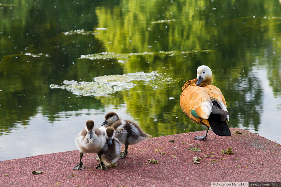 Утка с утятами в Екатерининском парке