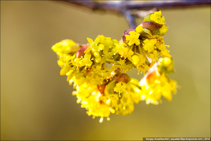 Цветение миндаля и кизила