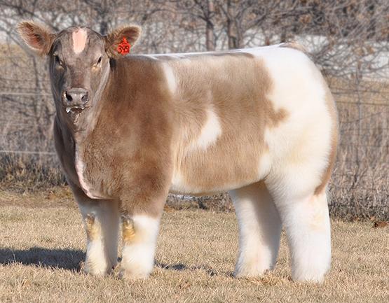 Мимимишные пушистые коровки