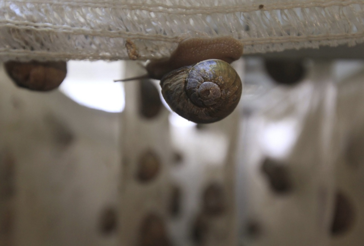 A snail (Helix Aspersa) climbs over panels in a farm near Choachi