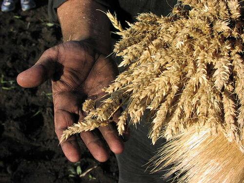 На Алтае будет построен завод перерабатывающий пшеницу