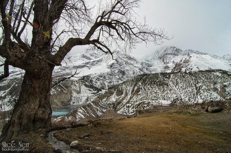 Очень мне эти деревья приглянулись =) За деревом озеро Гангапурна, Мананг, гималаи, непал, горы