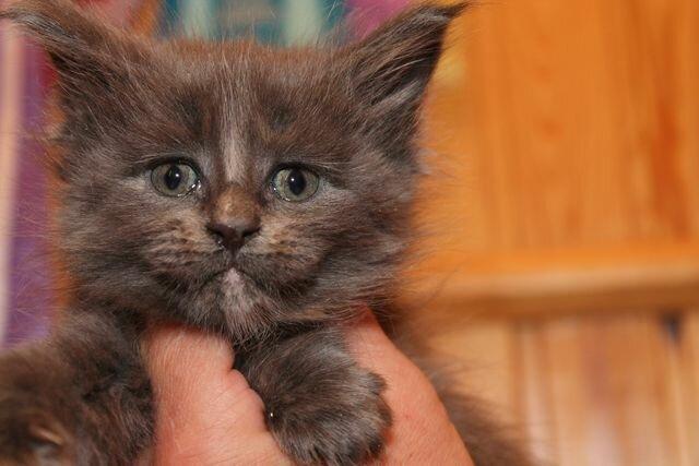 Кошка мейн-кун Жаклин фото из питомника