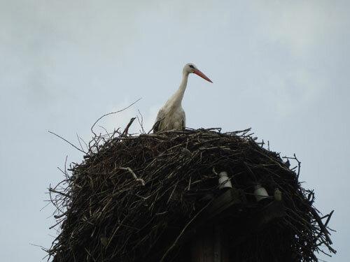 Отдых в Беларуссии: аист в гнезде