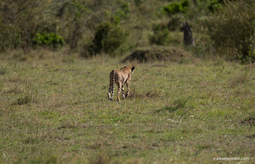 10. Пока мать охотится, малыши сидят в своем укрытии. Если обзор позволяет, то внимательно наблюдают