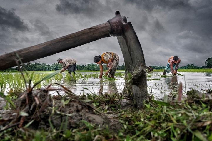 2. Гран-при — «Выращивание риса падди» (автор: Суджан Саркар, Индия). Рис — основная еда в Восточном