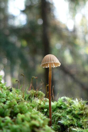 грибы высокий