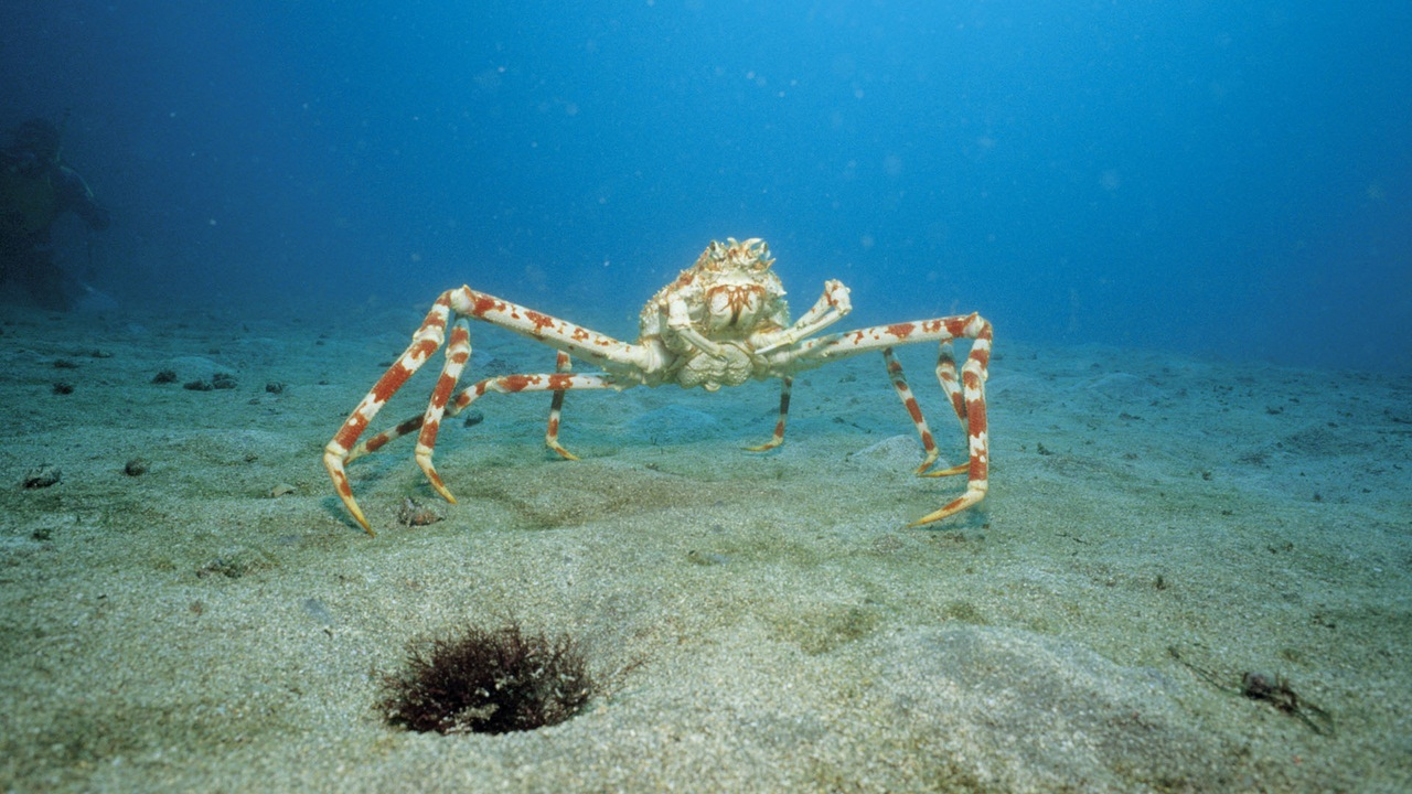 Japanese Spider Crab (Macrocheira kaempferi) on ocean floor, Japan