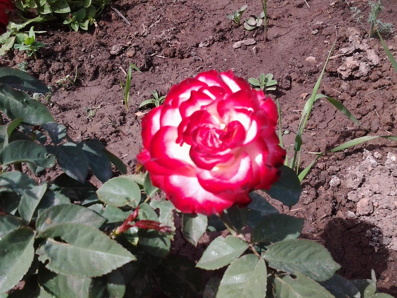 роза испанский танец фото