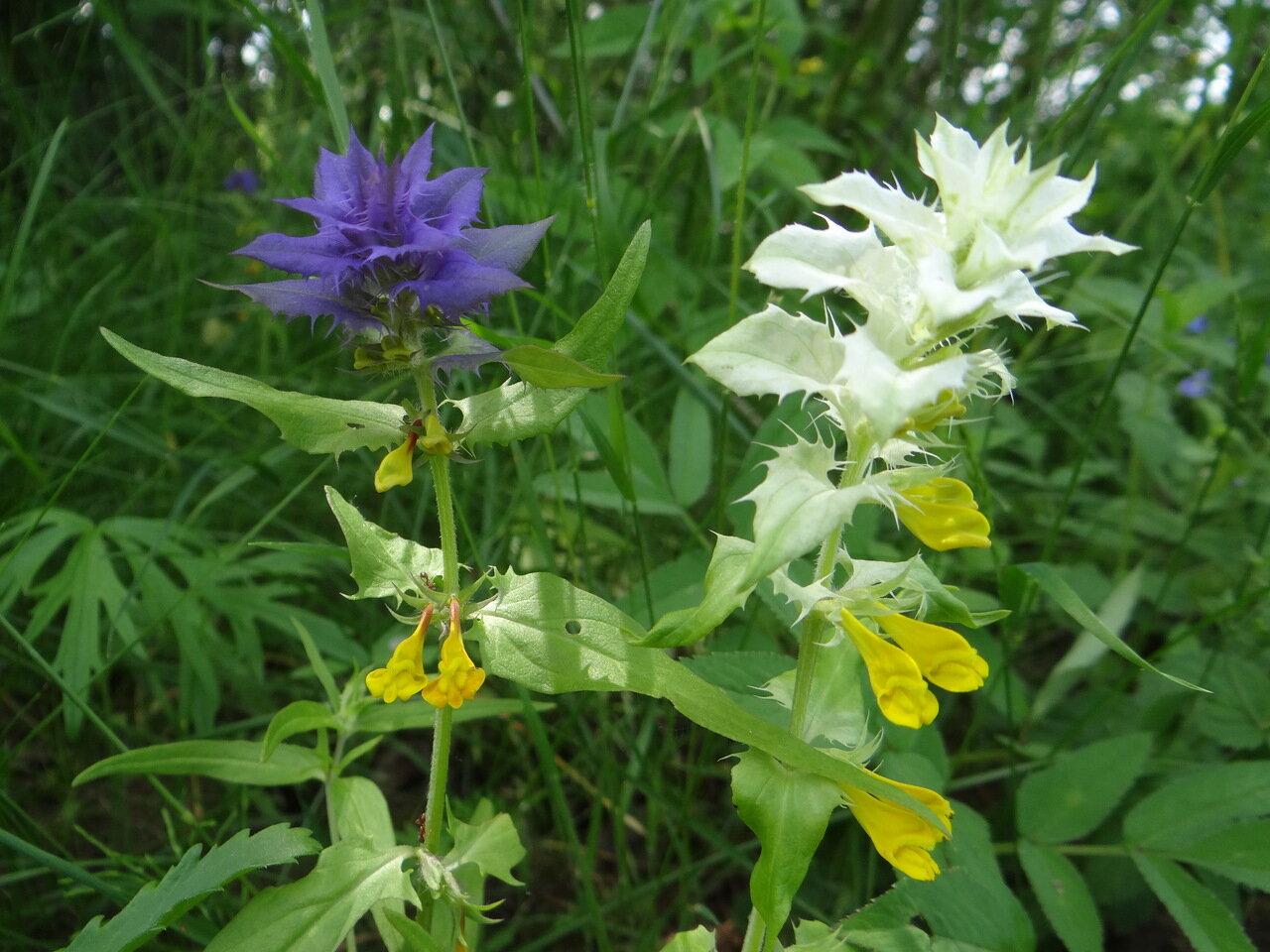 Марьянник дубравный (Melampyrum nemorosum) Автор фото: Привалова Марина