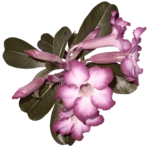 feli_ss_pink flowers with foliage3.png