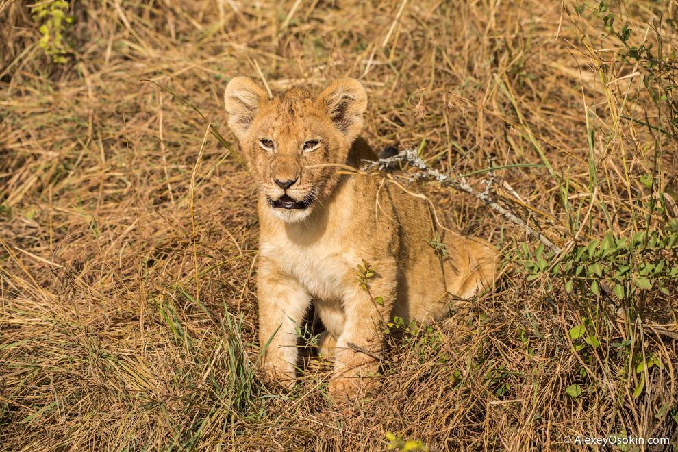 4. У львят есть несколько потенциальных врагов: во-первых, отцы этих львят. Иногда львы по неосторож