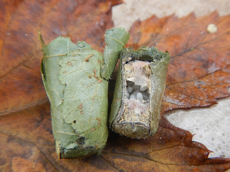 Кладка яиц неизвестного насекомого DSCN4690.JPG
