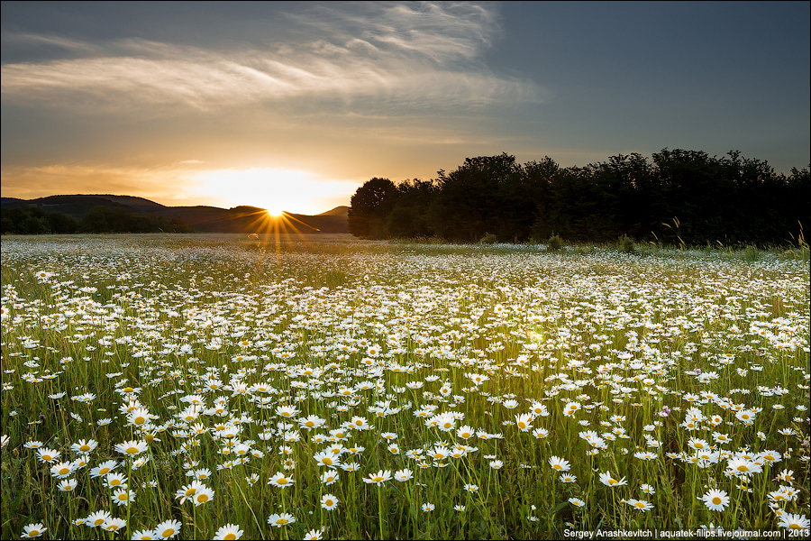 Ромашковые поля в Крыму