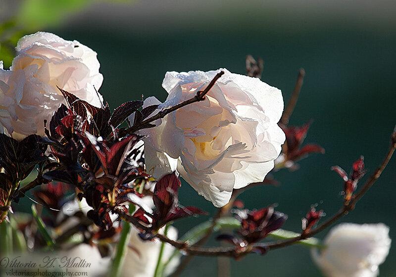 Тюльпаны Double Late Angelique-Viktoria Mullin