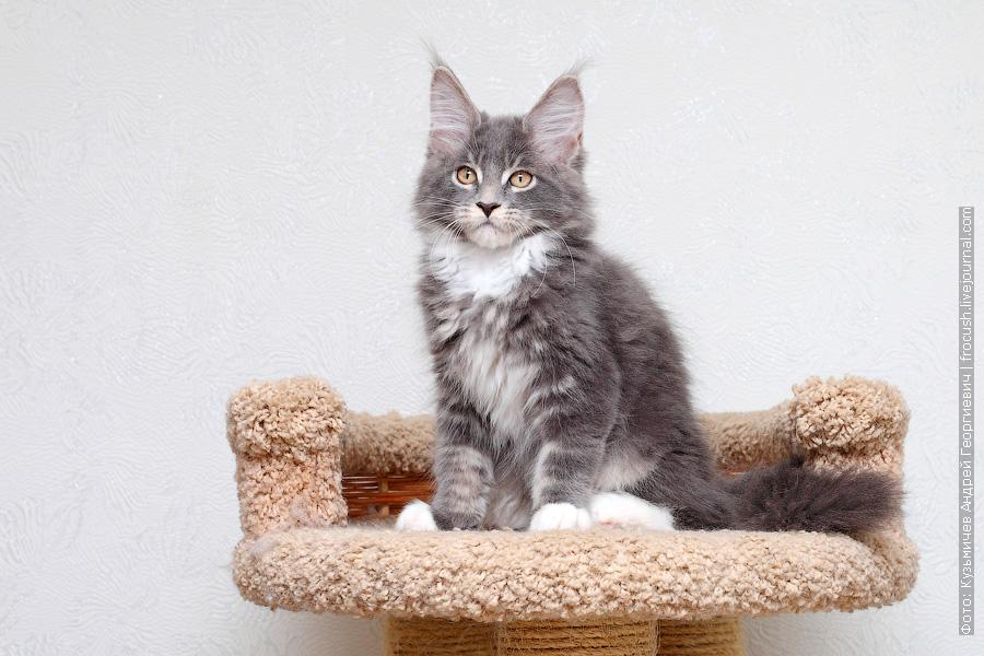 купить в Москве котенка Мейн-кун