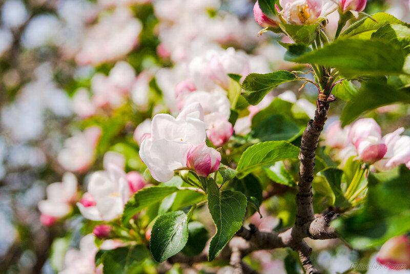 Так душу будоражит первый цвет...Весна