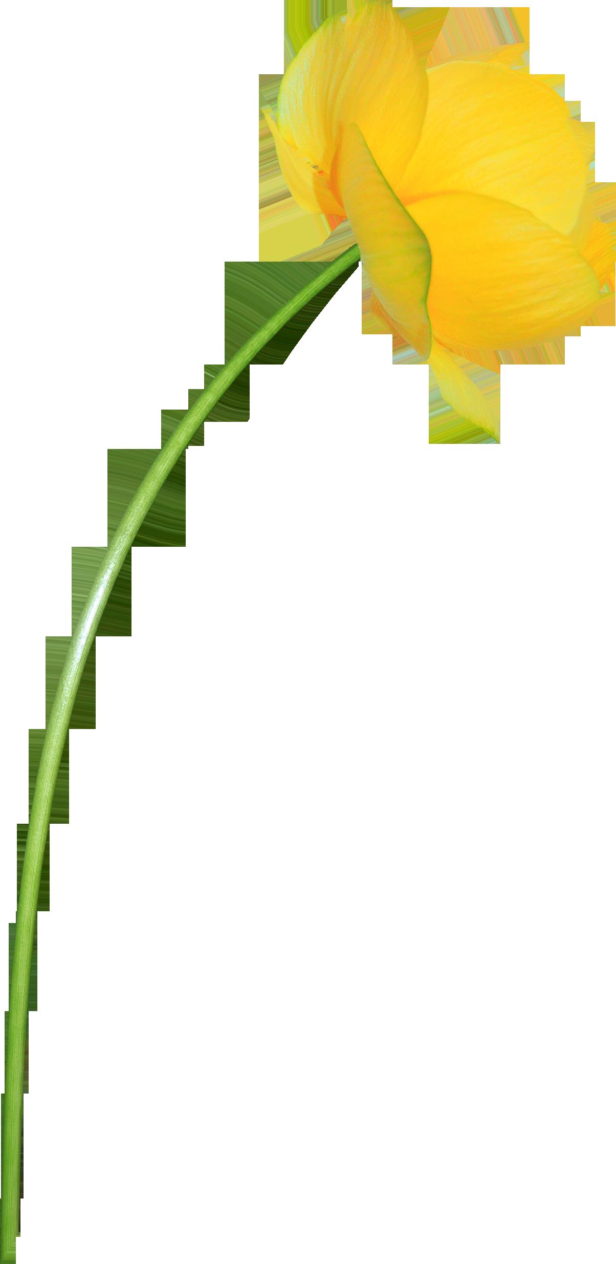 Желтые одуванчики png 2