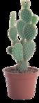 cactus (9).png
