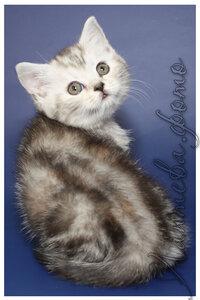 черная черепаховая серебристая мраморная британская короткошерстная кошка