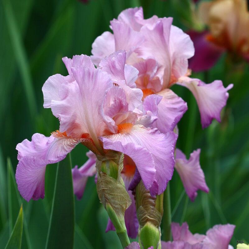 Ирисы! Они приглашены на званый бал цветов, самых прекрасных! triinochka.ru