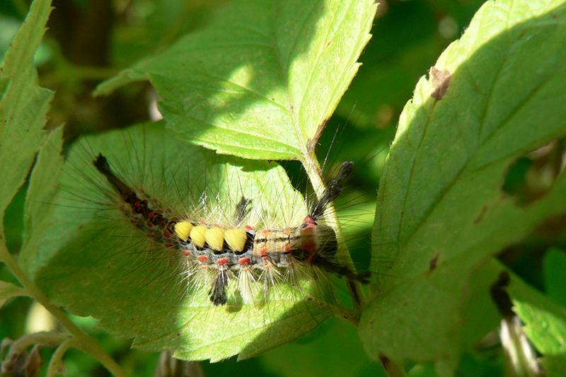 гусеница триколор2
