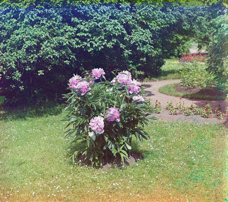 В Гатчинском парке. Пионы