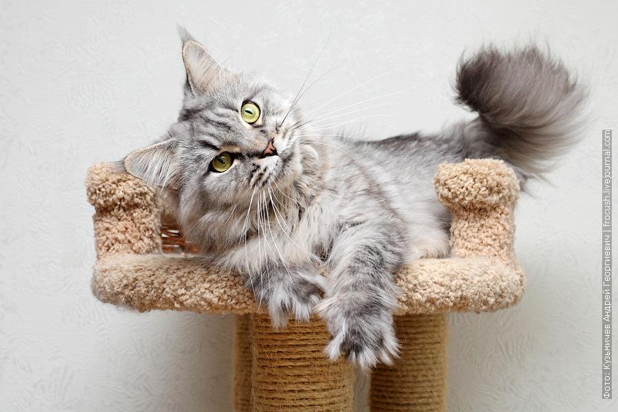 отдам кошку Мейн-кун бесплатно в Москве