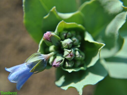 Мертензия приморская / Mertensia maritima