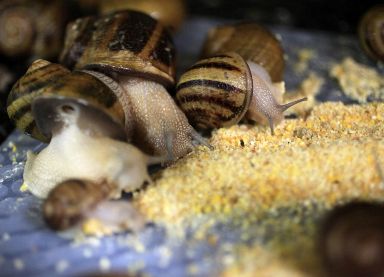 Snails (Helix Aspersa) are fed on their panels in a farm near Choachi