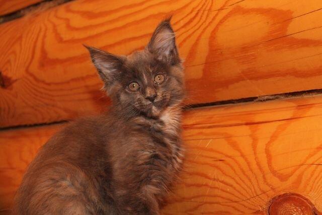 фото кошки мейн-кун Жаклин в питомнике мейнкунов Captain Coon, г. Новосибирск