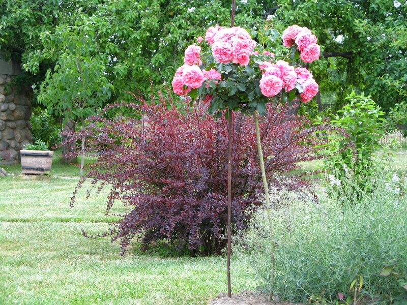 Розы штамбовые выращивание 52