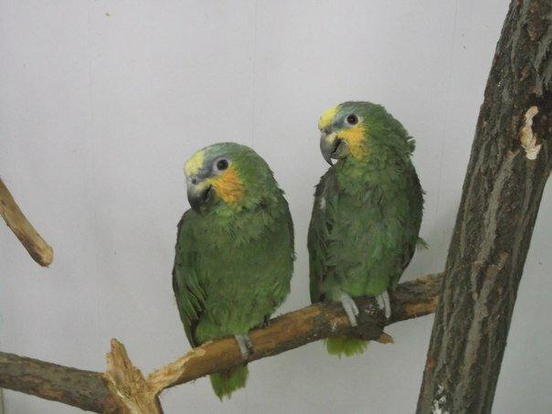Попугайчики (21.05.2013)
