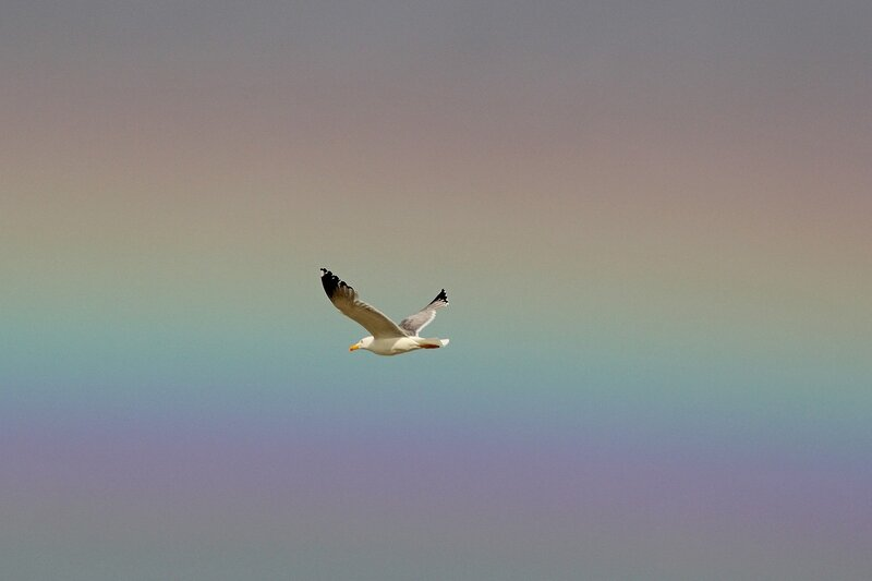 Летящая чайка на фоне радуги после шторма в Любимовке