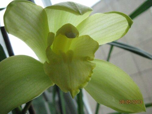Орхидея Цимбидиум Маленький - какое прекрасное и волшебное цветение