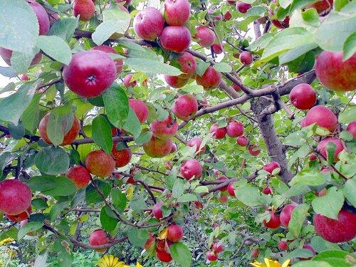 Поздние яблочки райского садика
