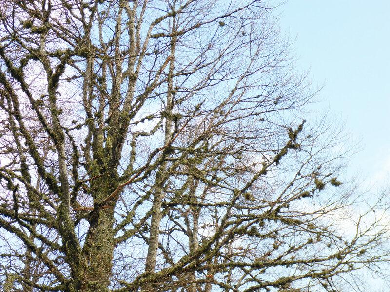 дерево с лишайником